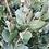 Thumbnail: Eucalyptus cordata subsp. quadrangulosa - Heart Leaved Gum
