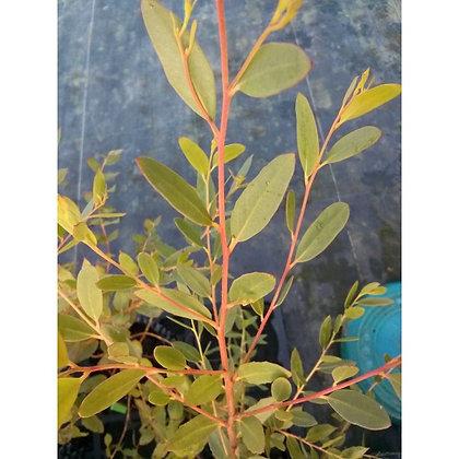 Eucalyptus ligustrina