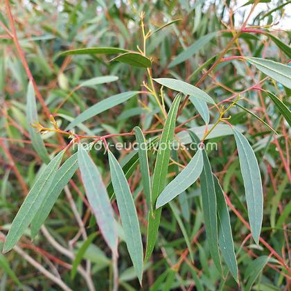 Eucalyptus rodwayii - Swamp Peppermint