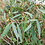 Thumbnail: Eucalyptus rodwayii - Swamp Peppermint
