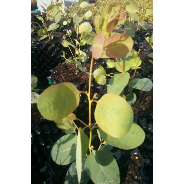 Eucalyptus camphora s. humeana