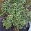 Thumbnail: Eucalyptus vernicosa - Varnished Gum