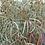 Thumbnail: Eucalyptus nicholii - Willow Peppermint