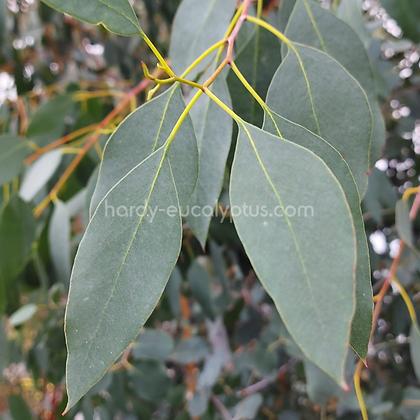 Eucalyptus urnigera - Urn Gum