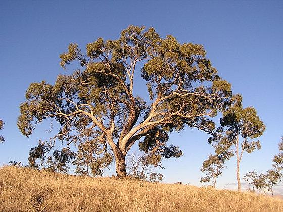 Eucalyptus bridgesiana - Apple Gum