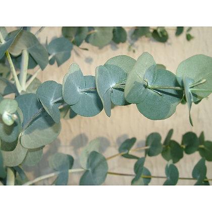 Eucalyptus glaucescens Guthega