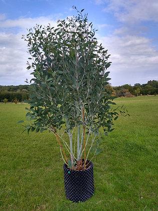 Eucalyptus pauciflora subsp. niphophila 'Mount Bogong'