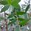 Thumbnail: Eucalyptus parvula - Small Leaved Gum