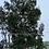 Thumbnail: Eucalyptus archeri - Alpine Cider Gum