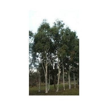 Eucalyptus mannifera subsp. Elliptica
