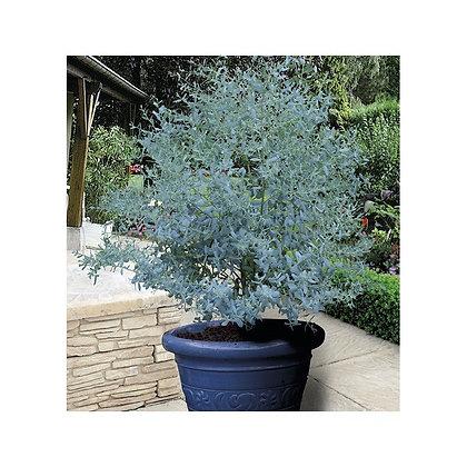 Eucalyptus 'France Bleu'®  (French Blue)