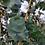 Thumbnail: Eucalyptus perriniana - Spinning Gum