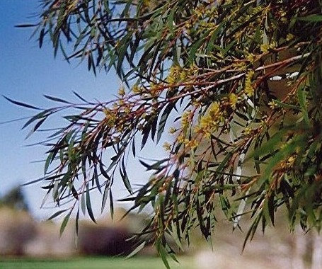 Eucalyptus moorei subsp. moorei