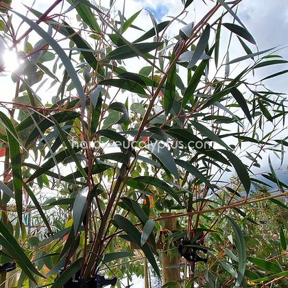Eucalyptus stricta - Blue Mountains Mallee Ash
