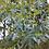 Thumbnail: Eucalyptus 'France Bleu'®  - French Blue