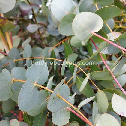 Eucalyptus cinerea - Silver Dollar
