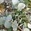 Thumbnail: Eucalyptus cinerea - Silver Dollar