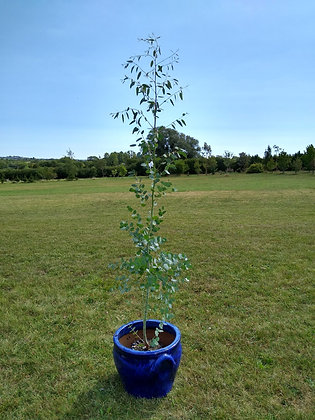 Eucalyptus 'Azura'