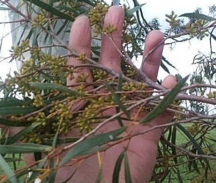 Eucalyptus pulchella - Tasmanian White Peppermint