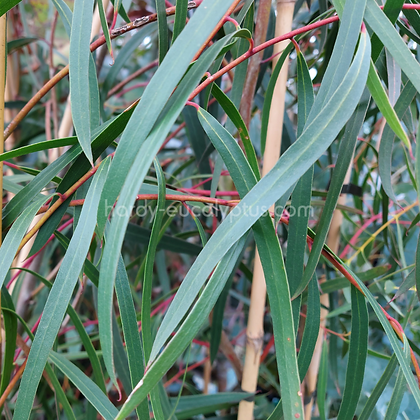 Eucalyptus apiculata - Narrow-Leaved Mallee Ash