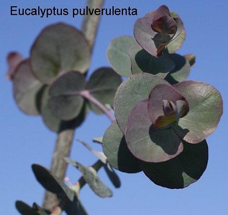 Eucalyptus pulverulenta
