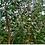 Thumbnail: Eucalyptus subcrenulata - Tasmanian Alpine Yellow Gum