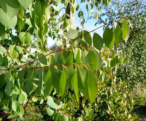 Eucalyptus stellulata