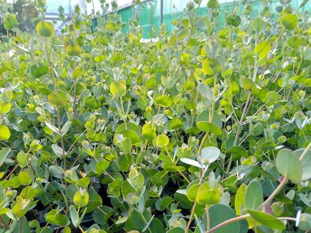 Mosaic Eucalyptus