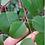 Thumbnail: Eucalyptus deanei - Mountain Blue Gum