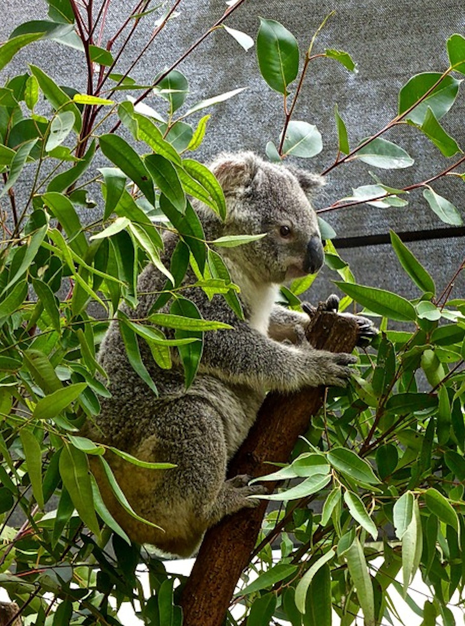 A natural, if difficult to manage, solution to Eucalyptus pruning