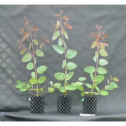 Eucalyptus delegatensis - Alpine Ash