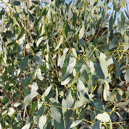 Eucalyptus archeri - Alpine Cider Gum