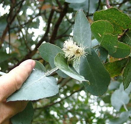 Eucalyptus cordata subsp. quadrangulosa