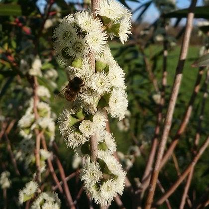 Eucalyptus kybeanensis 'Kybean Mallee Ash'