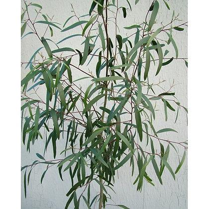 Eucalyptus aggregata 'Black Gum'