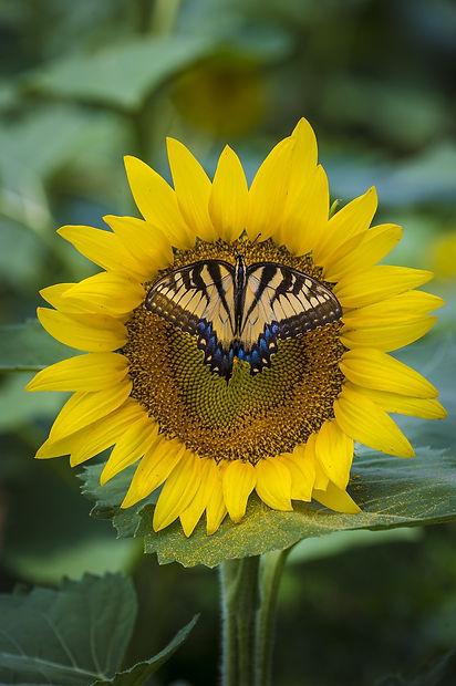 sunflower-3705038_1920.jpg