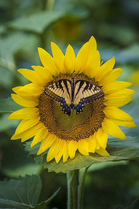 sunflower-3705038_1920.jpg