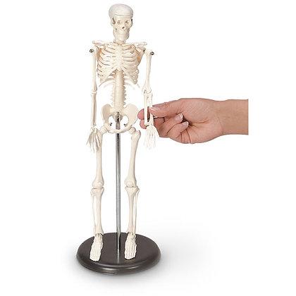 16-1/2 in. Desktop Skeleton
