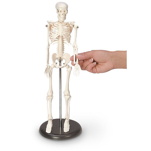 16-1/2 in. Desktop Skeleton