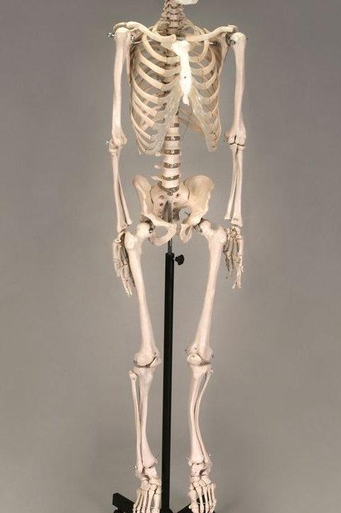 Economy Plastic Human Skeleton