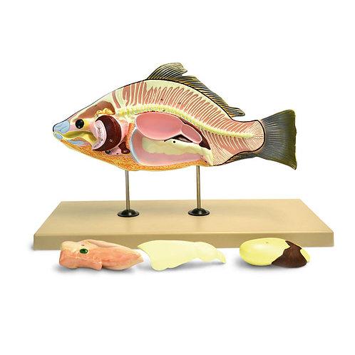 Fish (Carp) Model