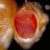 drosophila_fruit_fly.jpg