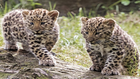 leapard cubs.jpg