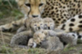 leapard cubs2.jpg