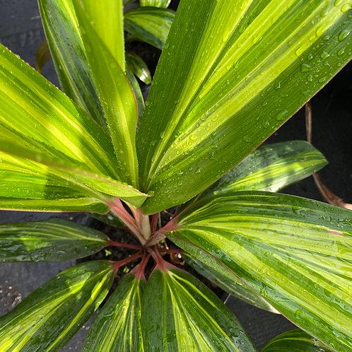 Cordyline fruticosa Pink Cascade