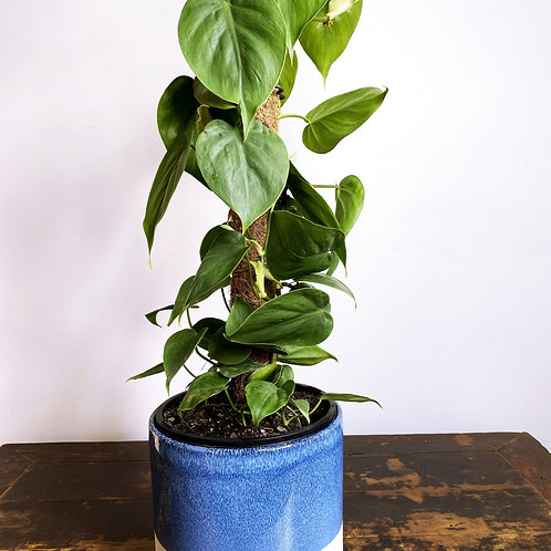 Philodendron hederaceum Totem