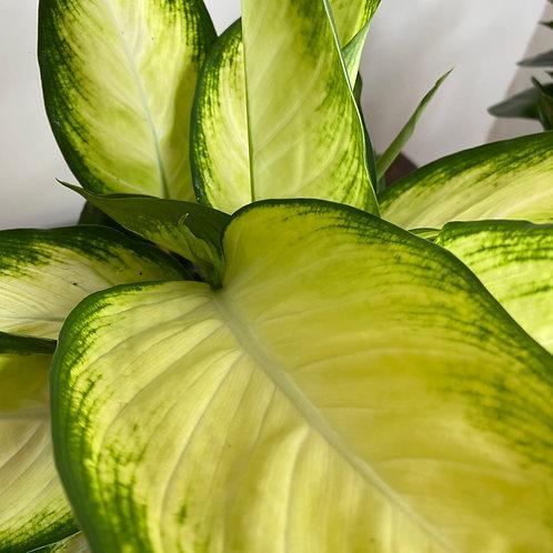 Dieffenbachia seguine Tropic Marianne
