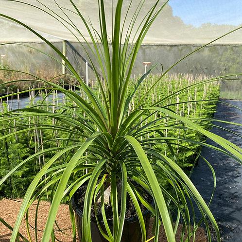 Beaucarnea recurvata (Ponytail palm)
