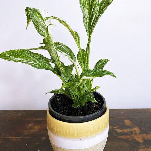 Spathiphyllum wallisii Domino