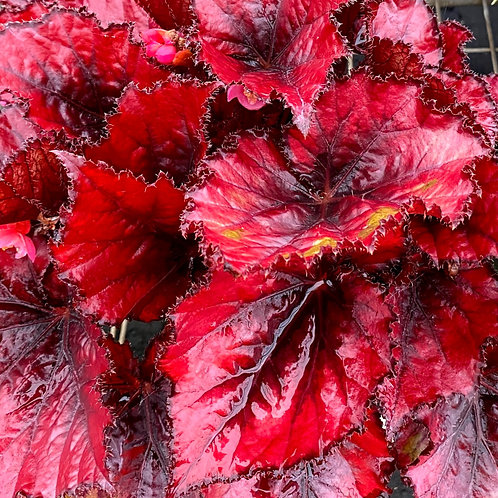 Begonia rex Red Robin